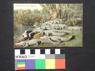 "Post Card - ""Sample Line, Texas Alligators."""