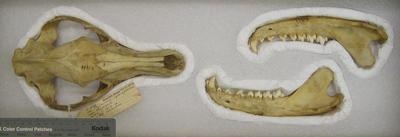 Thylacinus cynocephalus