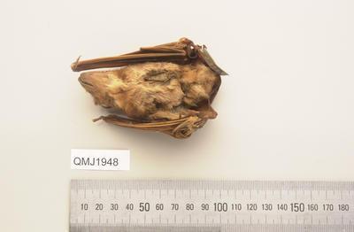 Saccolaimus saccolaimus nudicluniatus