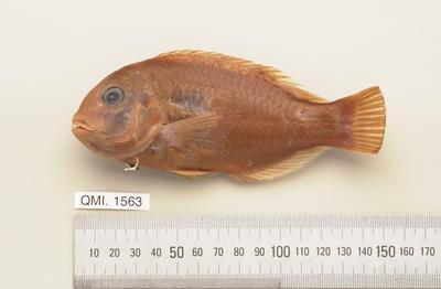 Choerodon monostigma