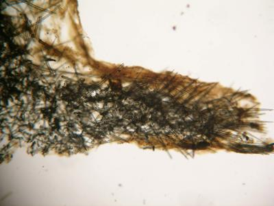Axechina raspailioides