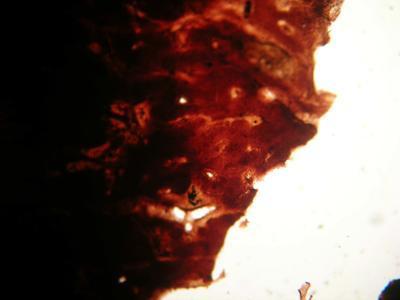 Suberea ianthelliformis