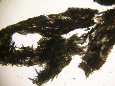 Mycale (Aegogropila) 101
