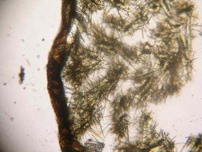 Clathria (Wilsonella) abrolhosensis
