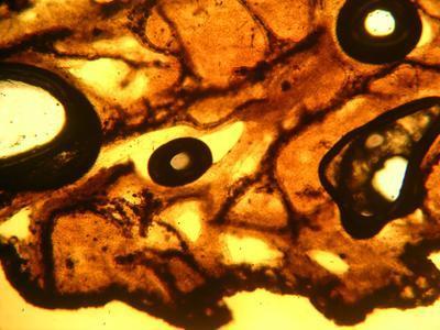 Psammocinia microconulosa