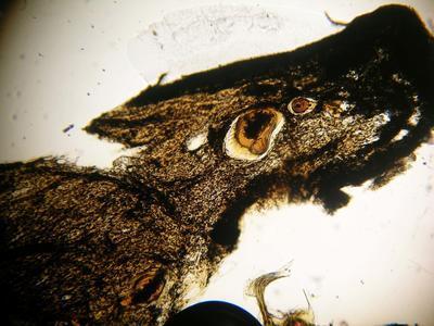 Fascaplysinopsis reticulata