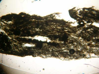 Hymeniacidon 217