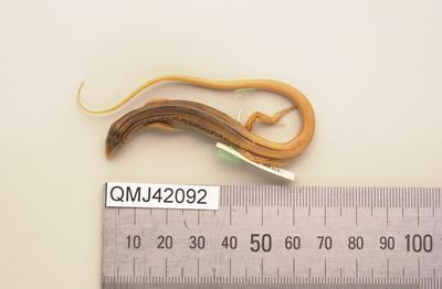 Ctenotus monticola