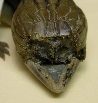 Tiliqua scincoides scincoides