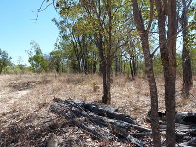 Diporiphora australis
