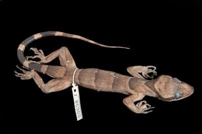 Cyrtodactylus pronarus