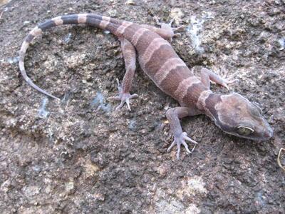 Cyrtodactylus adorus