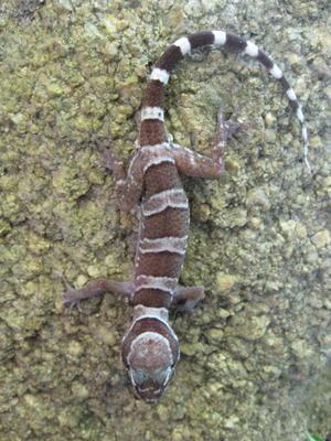 Cyrtodactylus mcdonaldi
