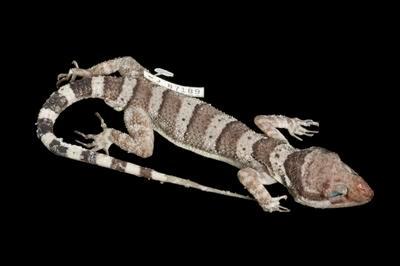 Cyrtodactylus tuberculatus