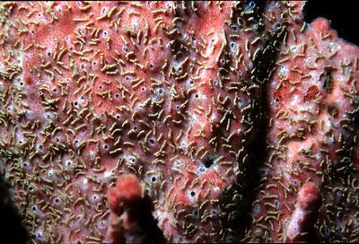 Clathria (Thalysias) hesperia
