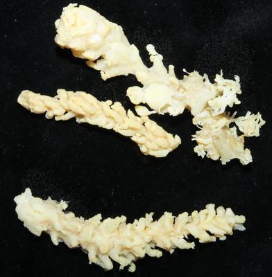 Carijoa multiflora