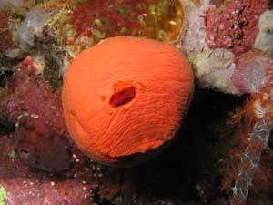 Theonella 3369 cf. T. swinhoei