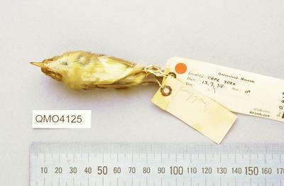 Sericornis beccarii dubius
