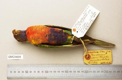 Trichoglossus moluccanus