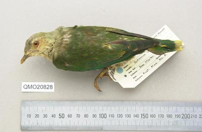 Ptilinopus richardsii