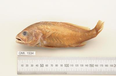 Nibea leptolepis