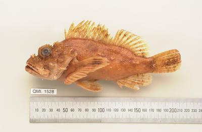 Scorpaenopsis venosa