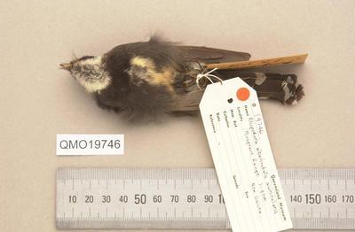 Rhipidura albolimbata auricularis