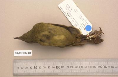 Cnemophilus loriae loriae