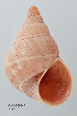 Limborelia exquisita