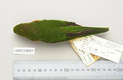 Neopsittacus pullicauda pullicauda
