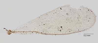 Eupelmus babindaensis