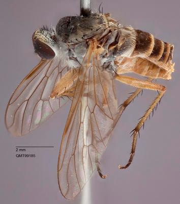 Anabarhynchus yeppoon