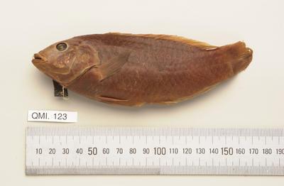 Pseudolabrus guentheri