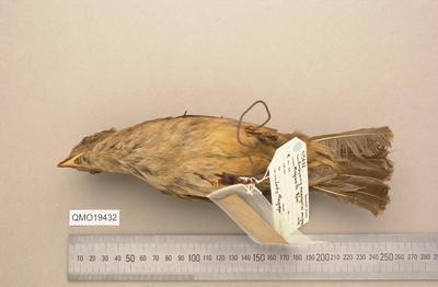 Amblyornis macgregoriae macgregoriae