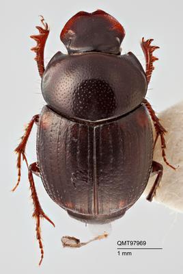 Onthophagus toopi (= CQ6)