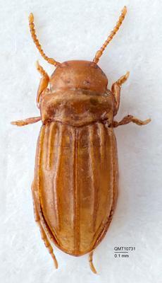 Typhlodessus monteithi