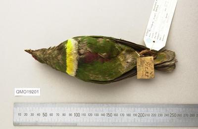 Ptilinopus rivoli bellus