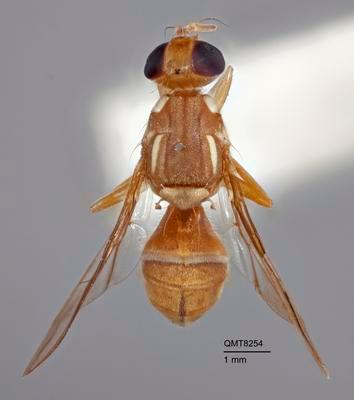 Bactrocera (Bactrocera) aurantiaca