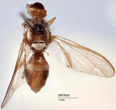 Bactrocera (Bactrocera) humilis