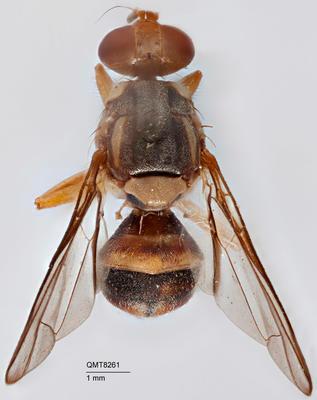 Bactrocera (Bactrocera) fuliginis