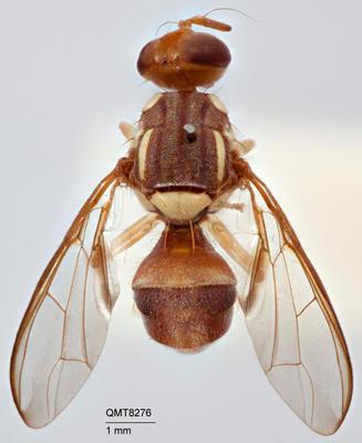 Bactrocera (Bactrocera) peninsularis