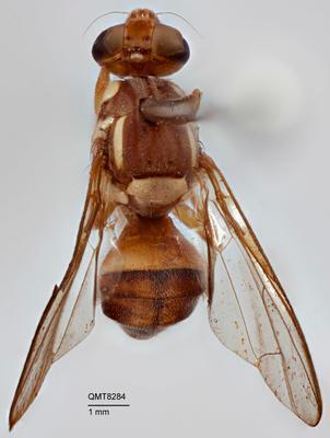 Bactrocera (Bactrocera) perkinsi