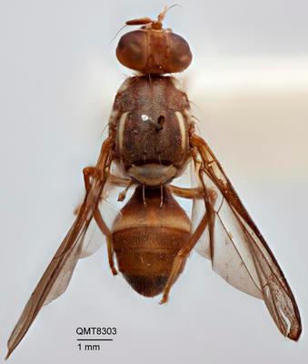 Bactrocera (Bactrocera) russeola