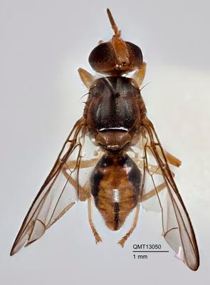 Bactrocera (Afrodacus) grandistylus