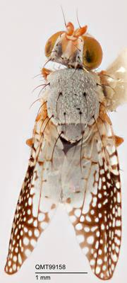Parahyalopeza multipunctata