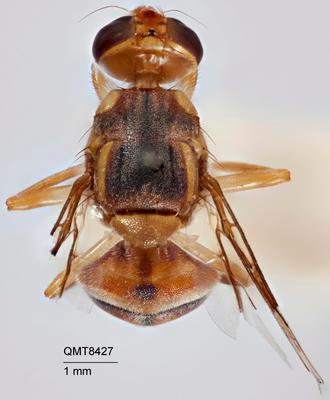 Bactrocera (Bactrocera) opiliae