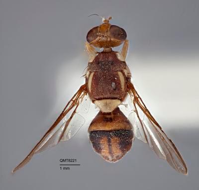 Bactrocera (Bactrocera) abscondita
