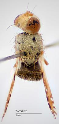 Paraactinoptera danielsi