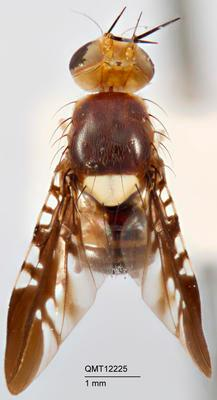 Vidalia dualis