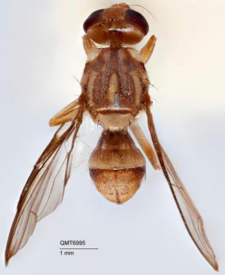 Bactrocera (Zeugodacus) fallacis